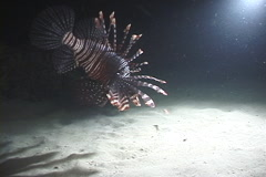 Common lionfish feeding on sand at night, Pterois volitans, UP9027 Stock Footage