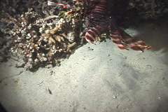Common lionfish feeding at night, Pterois volitans, UP9029 Stock Footage