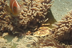 Porcelain crab, Neopetrolisthes maculatus, UP9082 Stock Footage
