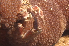 Porcelain crab feeding, Neopetrolisthes maculatus, UP9085 Stock Footage