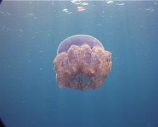 Beautiful blue jellyfish swimming, Cephea cephea, UP9430 Stock Footage