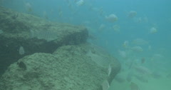 Luderick swimming on river mouth rock wall, Girella tricuspidata, 4K UltraHD, Stock Footage