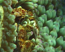 Porcelain crab feeding, Neopetrolisthes oshimai, UP9443 Stock Footage