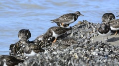 Ruddy turnstones foraging on mussel bed in winter - stock footage
