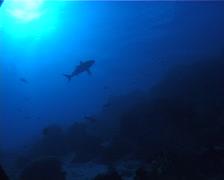 Grey reef shark swimming, Carcharhinus amblyrhynchos, UP9489 Stock Footage