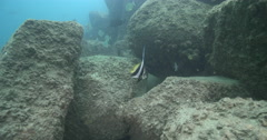 Longfin bannerfish waiting to be cleaned on river mouth rock wall, Heniochus Stock Footage
