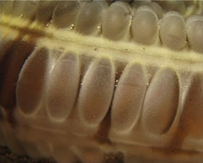 Feathermouth sea cucumber at night, Euapta godeffroyi, UP9507 Stock Footage