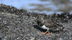 Ruddy turnstone foraging on mussel bed in winter - stock footage