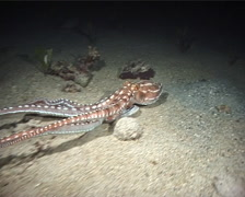 Whitespot octopus swimming at night, Octopus macropus, UP9517 Stock Footage