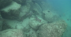 Mangrove jack on river mouth rock wall, Malabar grouper, 4K UltraHD, UP34284 Stock Footage