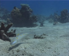Decorated goby swimming on sand, Valenciennea decora, UP9559 Stock Footage