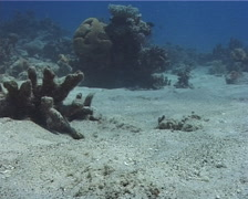 Decorated goby feeding on sand, Valenciennea decora, UP9561 Stock Footage