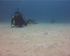 Lone diver watching the critters on sand with Kuhl's Ray in Kingdom of Tonga, - stock footage
