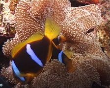 Orangefin anemonefish sleeping at night, Amphiprion chrysopterus, UP9588 Stock Footage
