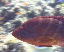 Coral cod swimming, Cephalopholis miniata, UP9609 Stock Footage