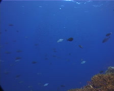 Ocean scenery fusliers and anthias, jacks and surgeonfish, on planktivore zone, Stock Footage