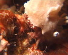 Dromeid crab walking and schooling at night, Unidentified Species, UP9633 Stock Footage