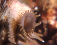 Tiger cowrie walking at night, Cypraea tigris, UP9645 Stock Footage