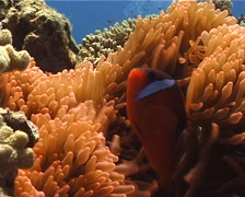 Fiji tomato clownfish swimming, Amphiprion barberi, UP9657 Stock Footage