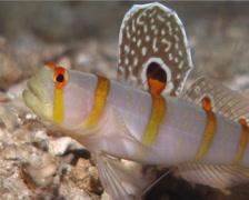 Randalls shrimpgoby swimming, Amblyeleotris randalli, UP9673 Stock Footage
