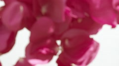 Valentine's Day rose petals falling. Stock Footage