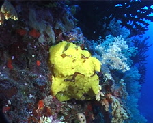 Giant frogfish, Antennarius commerson, UP9686 Stock Footage
