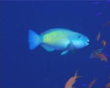 Male adult Bullethead parrotfish feeding, Chlorurus sordidus, UP9700 Stock Footage