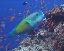 Male adult Bullethead parrotfish feeding, Chlorurus sordidus, UP9701 Stock Footage