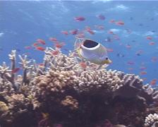 Saddled butterflyfish feeding, Chaetodon ephippium, UP9705 Stock Footage