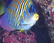 Regal angelfish swimming, Pygoplites diacanthus, UP9722 Stock Footage