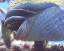 Titan triggerfish feeding on shallow coral reef, Balistoides viridescens, UP9713 Stock Footage