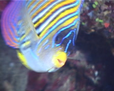 Regal angelfish swimming, Pygoplites diacanthus, UP9721 Stock Footage