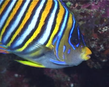 Regal angelfish swimming, Pygoplites diacanthus, UP9723 - stock footage