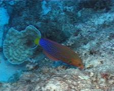 Yellow-tail coris feeding, Coris gaimard, UP9738 Stock Footage