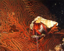 Giant orange hermit crab at night, Dardanus megistos, UP9751 Stock Footage