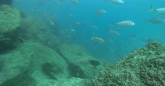Luderick swimming on sandy river bottom, Girella tricuspidata, 4K UltraHD, Stock Footage