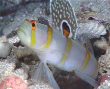 Randalls shrimpgoby hovering, Amblyeleotris randalli, UP9777 Stock Footage