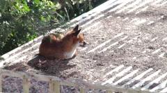 Urban fox sunning itself in a West London garden. Stock Footage