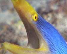 Blue ribbon eel gaping at dusk, Rhinomuraena quaesita, UP9797 Stock Footage