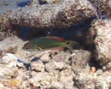 Exquisite wrasse swimming at dusk, Cirrhilabrus exquisitus, UP9802 Stock Footage