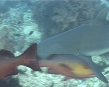 Grey reef shark swimming in deep water passage, Carcharhinus amblyrhynchos, Stock Footage