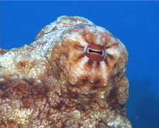 Common reef octopus at dusk, Octopus cyanea, UP9809 Stock Footage
