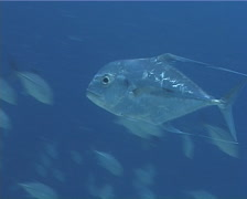 Threadfin trevally swimming in bluewater, Alectis ciliaris, UP9846 - stock footage