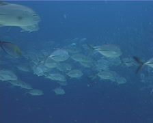 Bigeye trevally swimming and schooling in bluewater, Caranx sexfasciatus, UP9850 - stock footage