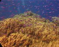 Group of scuba divers swaying on shallow coral reef with Magenta slender anthias - stock footage
