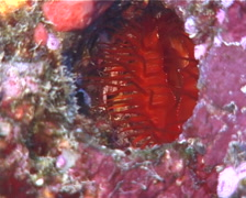 Electric clam feeding, Lima sp. Video 9867. Stock Footage