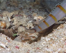 Yellow goby shrimp, Alpheus ochrostriatus, UP9887 Stock Footage