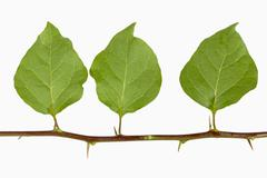 Three Bougainvillea Leaves with Thorns on Stem - stock photo