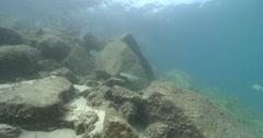 Kuhl's Ray swimming on river mouth rock wall, Neotrygon kuhlii, 4K UltraHD, Stock Footage