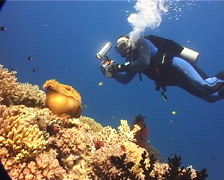 Videographer taking images on coral reef with Magnificent sea anemone Pink Stock Footage